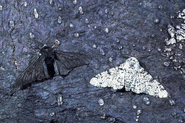 Black Peppered Moth Natural Selection Disruptive
