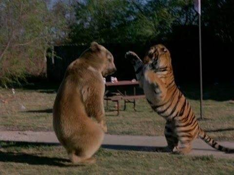 Tiger Versus Bear