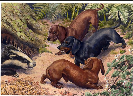 Did dachshunds hunt badgers? - Quora