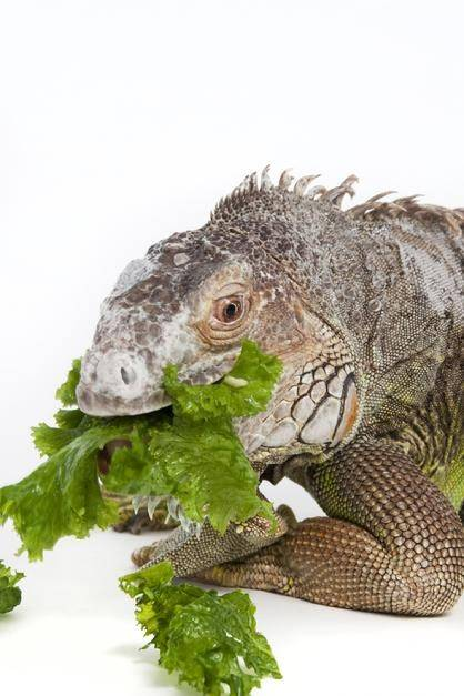 What Food Do Lizards Eat In The Desert