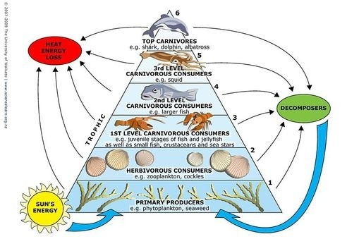 How do living organisms gain and use mass through photosynthesis and ocean life energy pyramid lifted from sciencelearn ccuart Choice Image