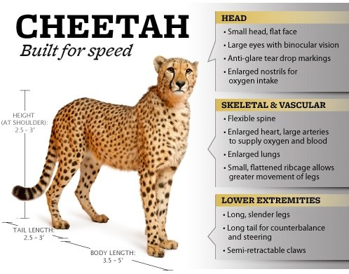 cheetah diagram what are some interesting facts about cheetahs  quora  what are some interesting facts about cheetahs  quora