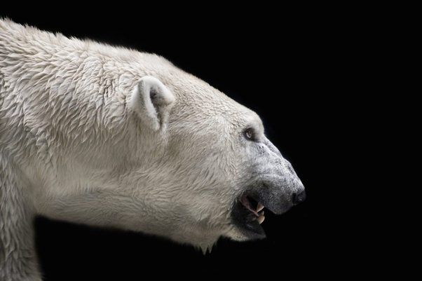 How can polar bears be cute and scary? - Quora