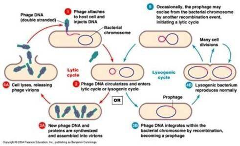what is lytic and lysogenic cycle  quora Cell Cycle Diagram main qimg 8428ce13837007d127bb06e418f44bbe c