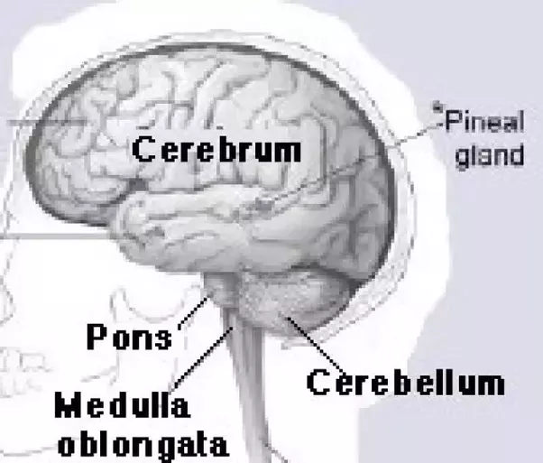 What Are The Similarities And Differences Between The Cerebrum And