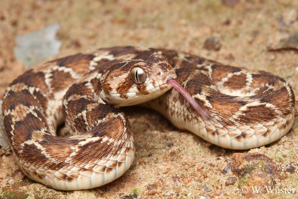 What is the natural habitat of the Indian Saw-Scaled Viper in ...