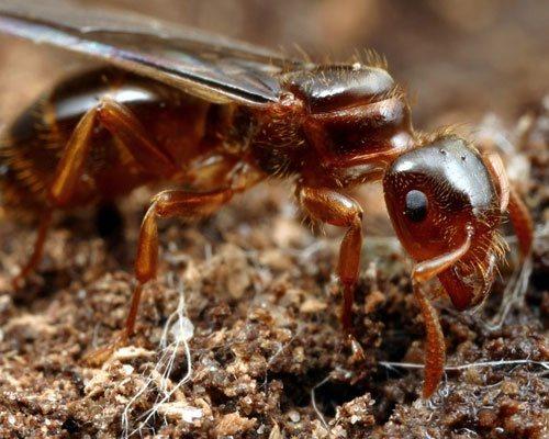 Myrmica Rubra Common Red Ant