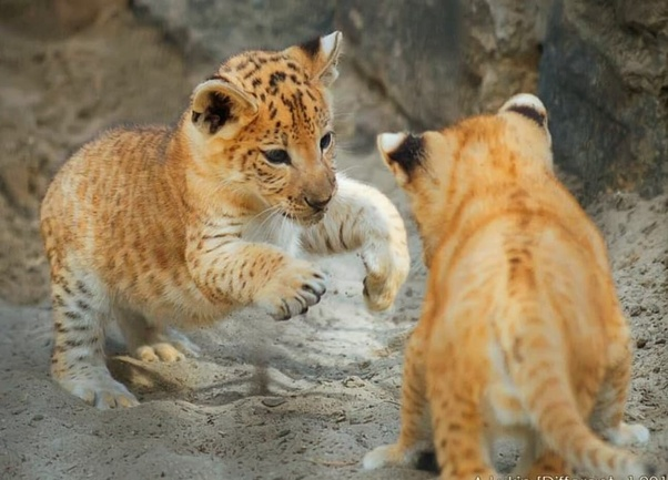 These Animals Are The Offspring Of A Male Lion And Female Liger Essentially They Hybrids You See With Por Cat Only