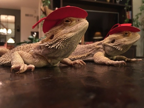 What might stress out my bearded dragon? - Quora