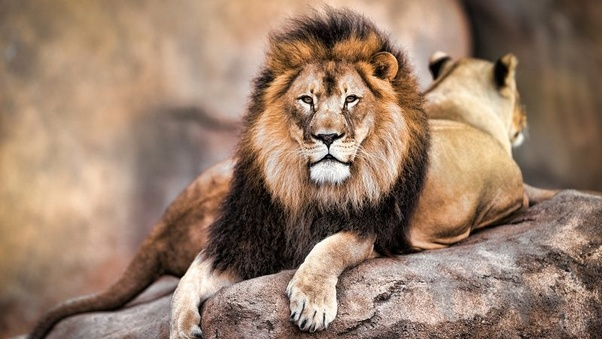 Why is a lion considered the king of the jungle, when an