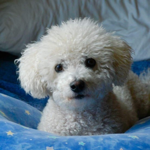 Why does a Bichon Frise cost so much? - Quora