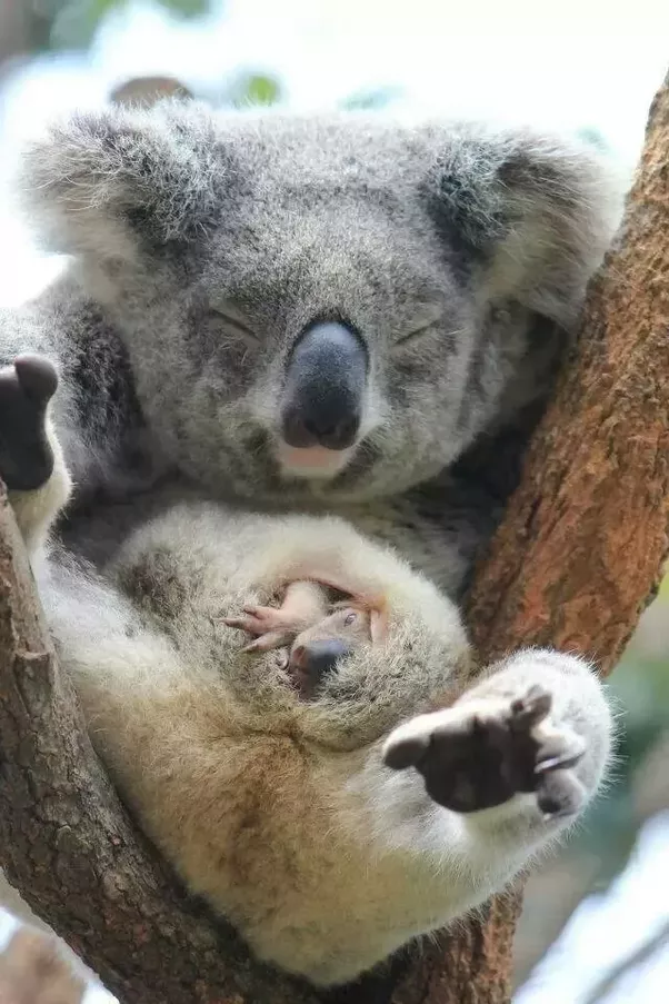 Do koalas have pouches? - Quora