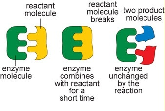 how do enzymes speed up reactions quora rh quora com