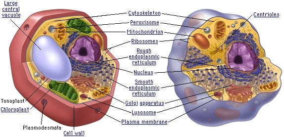 Are animal cell and plant cell eukaryotic or prokaryotic cells quora prokaryotic cells lack a well defined nucleus and membrane bound organelles but plant and animal cells have a well defined nucleus and membrane bound ccuart Image collections