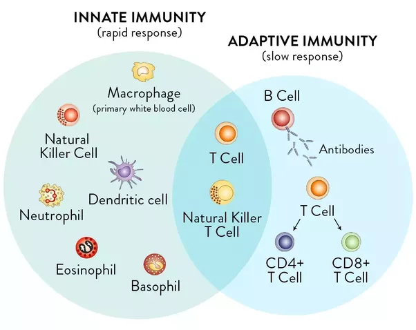 Are NKT   cells    part of the innate or the specific    immune