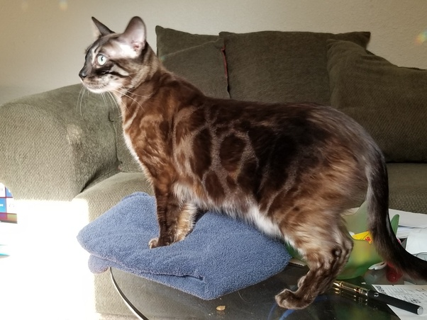My Bengal cat is unmanageable! Is it normal and what should