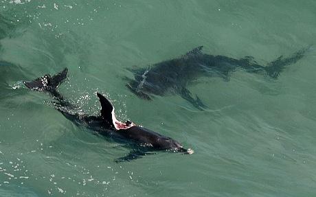 ¿Por qué los tiburones no comen delfines? Main-qimg-8636c02dc830599335e834a95e426204