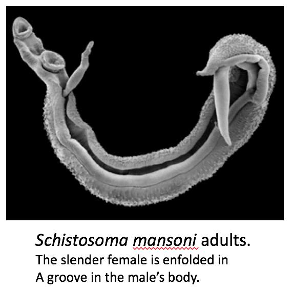 parásito de gusano en humanos
