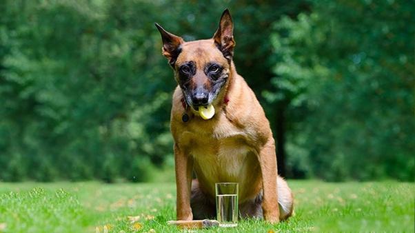 What Happens When Dogs Eat Lemon Quora