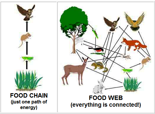 Interconnection Of Food Chains And A Graphical Representation Usually An Image Of What Eats What In An Ecological Community Another Name For Food Web