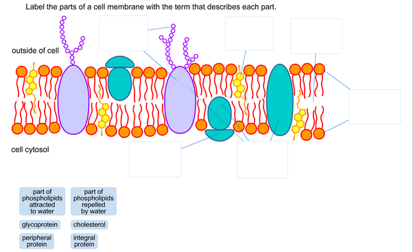 Diagram Of A Section Of A Cell Membrane Schematic Wiring Diagrams
