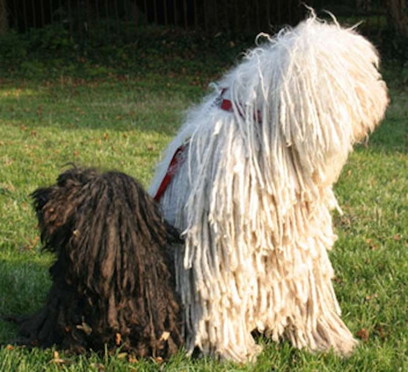 Also any super hairy or double coated large dog is fairly high maintenance  to avoid odor, matted hair and having your body and home coated in a layer  of ...