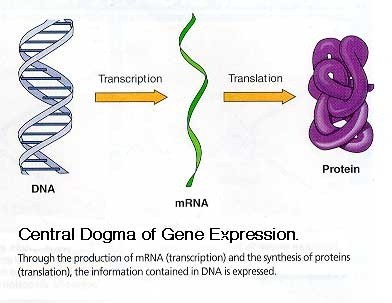 the role of dna rna and Deoxyribonucleic acid (dna) and ribonucleic acid (rna) have remarkably  similar chemical structures, but despite this, they play significantly different roles  in.