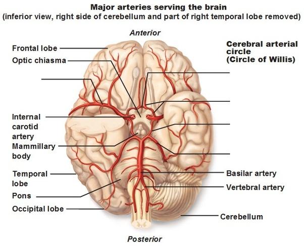 Heart To Brain Arteries Diagram House Wiring Diagram Symbols
