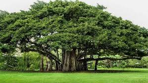 national tree  india quora