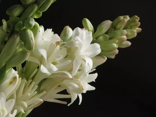 What are some of the most fragrant flowers in the world quora unfortunately i also associate this smell with the smell of the dead as the dead in our society is decorated with this flower before going for cremation mightylinksfo