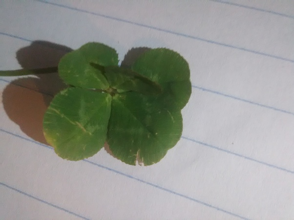 Is A Five Leaf Clover Good Luck Quora