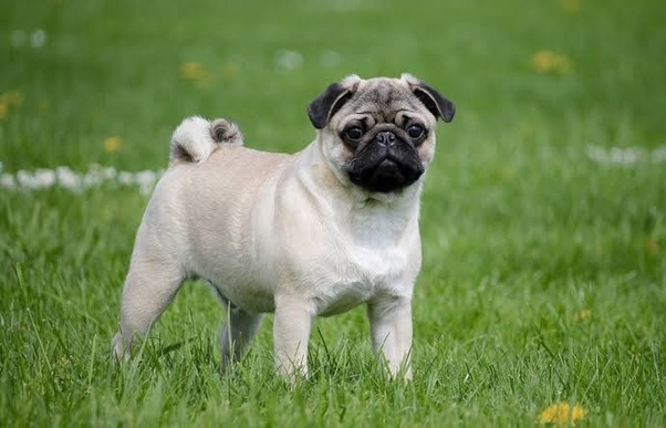 How Much Does A Pug Dog Cost And Why Quora