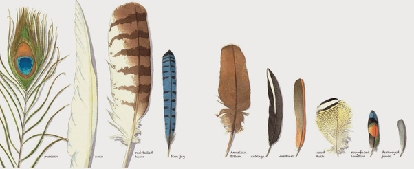 d17132881 What do feathers represent? - Quora