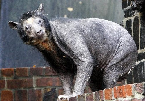 what does a bear look like if you shave it has anyone ever shaved a