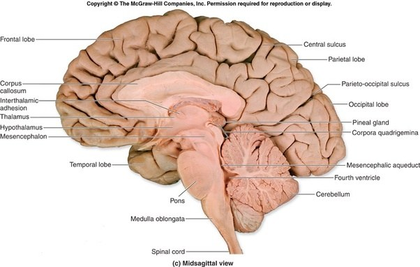 Which part of our brain controls body balance? - Quora