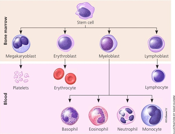 what does high neutrophils and monocytes mean