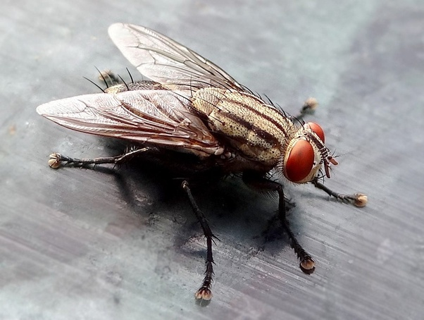 Why Do Flies Always Come Buzz In Our Ears Quora