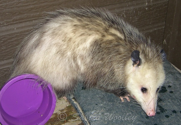 What do you do with a possum that is eating your cat's food on the