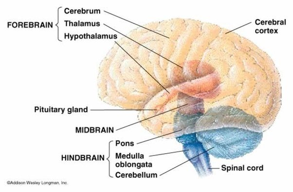 What Is The Position Of The Pineal Gland To The Mid Brain Quora