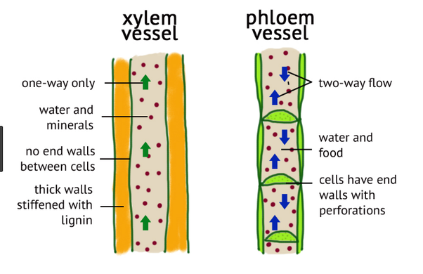 What are the adaptations of xylem and phloem tissues to ...