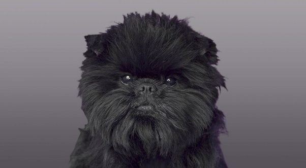 Which Breeds Of Dog Look Like The Ewoks From Star Wars
