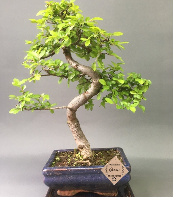 Where can I buy the best Bonsai plants in Bangalore? - Quora
