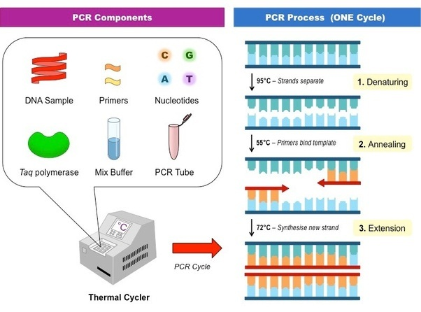 How does DNA extraction, PCR amplification, and primer work? - Quora