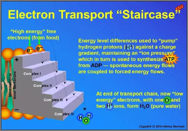 where in the cell does the electron transport chain occur