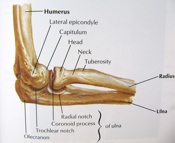 What is the medical name for the inside of the bend of the elbow? - Quora