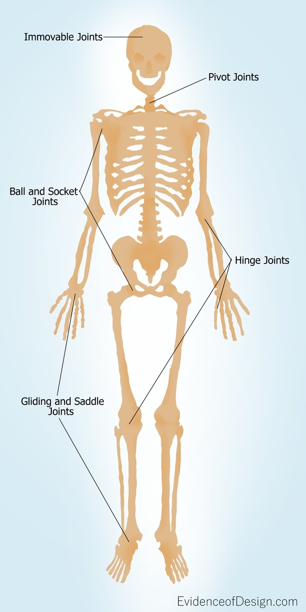 Where Are The Ball And Socket Joints Found In The Human Body Quora