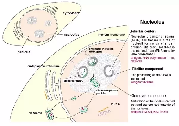 Is the source of ribosomes in cytoplasm from rrna that form in the nucleusnucleolus image lifted from mbl article fluorescence patterns of nuclear autoantigens original caption ccuart Choice Image