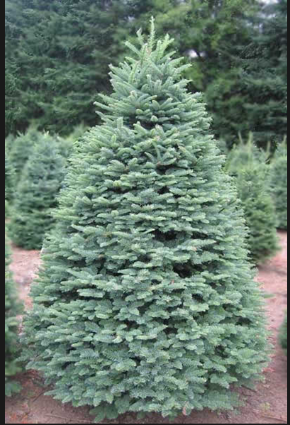 Why Are Noble Fir Trees More Expensive Than Other Firs