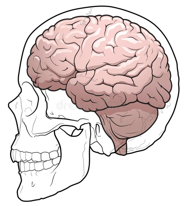 Why Is The Cranium Considered The Most Important Part Of The Skull
