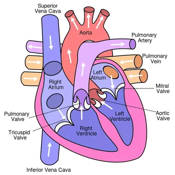 What is the order of blood flow if a drop of blood would pass right atrium again ccuart Image collections